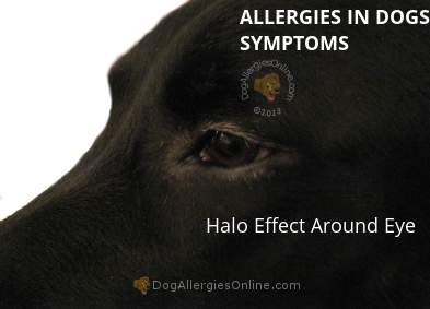 Allergies in Dogs Symptoms - Halo Effect Around Eye