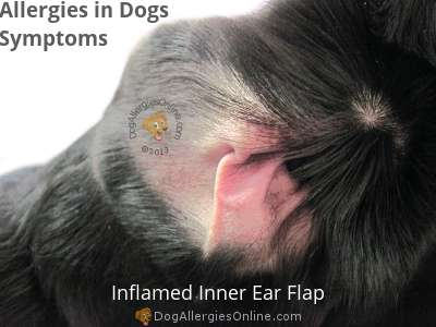Allergies in Dogs Symptoms - Inflamed Inner Ear Flap