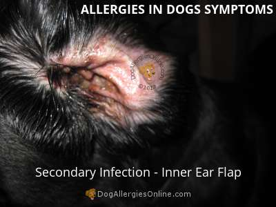 Allergies in Dogs Symptoms -Secondary Infection Ear Flap
