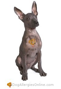 Allergy Friendly Hairless Dogs - Mexican Hairless or Xolo