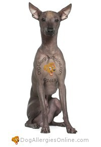 Allergy Friendly Hairless Dogs - Peruvian Hairless