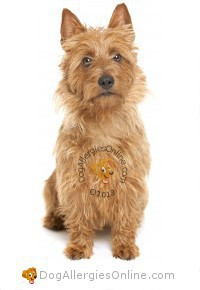 Allergy Friendly Hunting, Sporting and Working Dogs - Australian Terrier