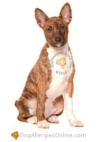 Allergy Friendly Hunting, Sporting and Working Dogs - Basenji