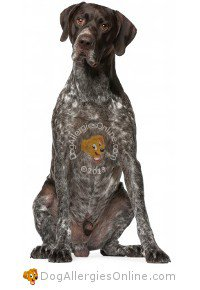 Allergy Friendly Hunting, Sporting and Working Dogs - German Shorthaired Pointer