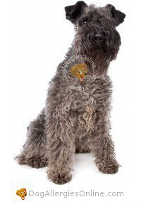 Allergy Friendly Hunting, Sporting and Working Dogs - Kerry Blue Terrier