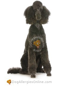 Allergy Friendly Hunting, Sporting and Working Dogs - Poodle