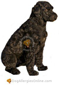 Allergy Friendly Hunting, Sporting and Working Dogs - Portuguese Water Dog