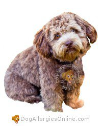 Allergy Friendly Hybrid Dogs - Schnoodle