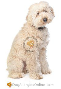 Allergy Friendly Hybrid Dogs - White Labradoodle