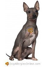 Allergy Prone Dog Breeds American Hairless Terrier