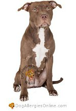 Allergy Prone Dog Breeds American Pit Bull Terrier