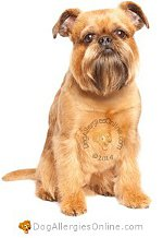 Allergy Prone Dog Breeds Brussels Griffon