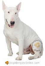 Allergy Prone Dog Breeds Bull Terrier