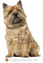 Allergy Prone Dog Breeds Cairn Terrier