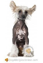 Allergy Prone Dog Breeds Chinese Crested