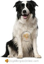 Allergy Prone Dog Breeds Collie (Border)