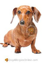 Allergy Prone Dog Breeds Dachshund