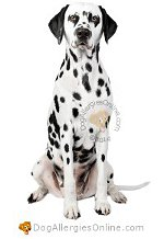 Allergy Prone Dog Breeds Dalmatian