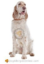 Allergy Prone Dog Breeds English Setter