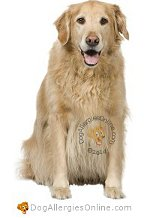 Allergy Prone Dog Breeds Golden Retriever
