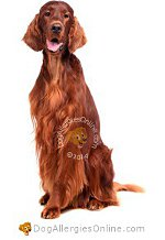 Allergy Prone Dog Breeds Irish Setter