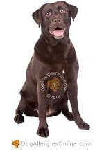 Allergy Prone Dog Breeds Labrador Retriever
