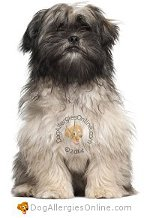 Allergy Prone Dog Breeds Lhasa Apso
