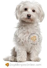 Allergy Prone Dog Breeds Maltese