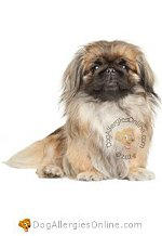 Allergy Prone Dog Breeds Pekingese