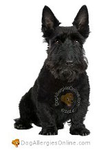 Allergy Prone Dog Breeds Scottish Terrier