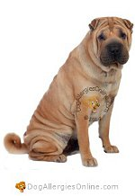 Allergy Prone Dog Breeds Shar Pei