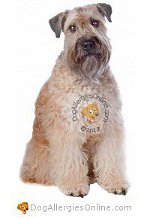 Allergy Prone Dog Breeds Wheaten Terrier