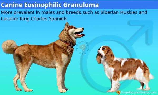 Eosinophilic Granuloma Complex and Canine Eosinophilic Granuloma