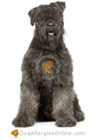 Larger Sized Allergy Friendly Dogs - Bouvier des Flandres