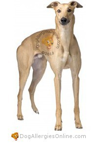Larger Sized Allergy Friendly Dogs - Greyhound