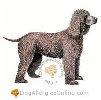 Larger Sized Allergy Friendly Dogs - Irish Water Spaniel