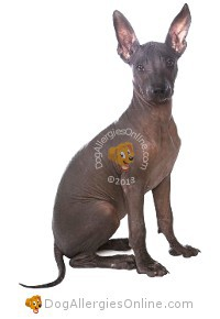 Larger Sized Allergy Friendly Dogs - Mexican Hairless or Xolo
