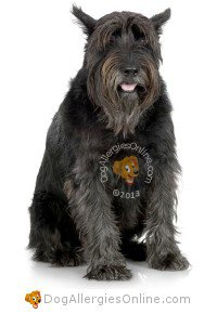 Larger Sized Allergy Friendly Dogs - Schnauzer