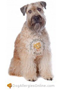 Larger Sized Allergy Friendly Dogs - Soft Coated Wheaten Terrier