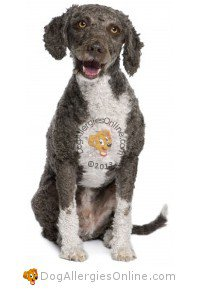 Larger Sized Allergy Friendly Dogs - Spanish Water Dog