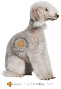Smaller Sized Allergy Friendly Dogs - Bedlington Terrier