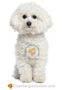 Smaller Sized Allergy Friendly Dogs - Bichon Frise