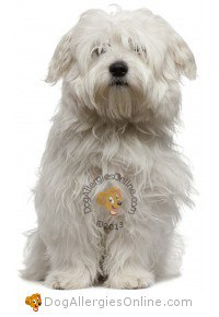 Smaller Sized Allergy Friendly Dogs - Coton de Tulear