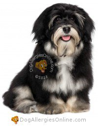 Smaller Sized Allergy Friendly Dogs - Havanese