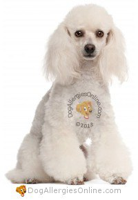 Smaller Sized Allergy Friendly Dogs - Poodle