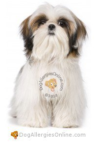 Smaller Sized Allergy Friendly Dogs - Shih Tzu