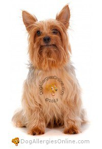 Smaller Sized Allergy Friendly Dogs - Silky Terrier