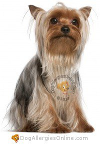 Smaller Sized Allergy Friendly Dogs - Yorkshire Terrier