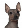 Allergy Friendly Hairless Dogs
