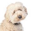 Allergy Friendly Hybrid Dogs